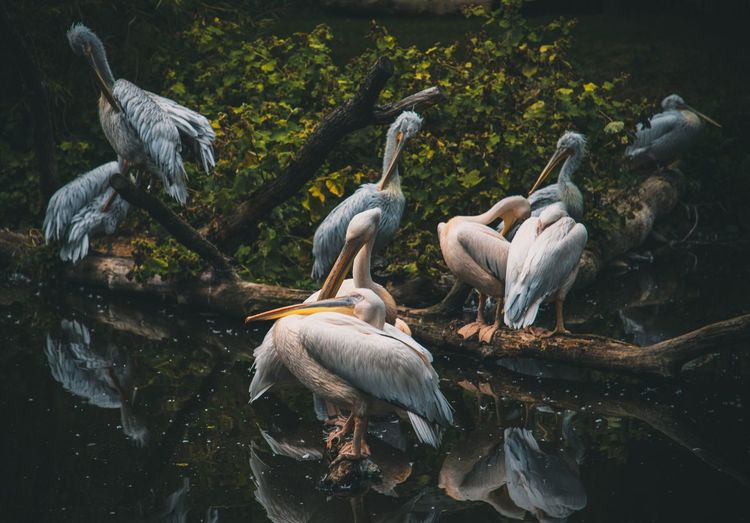 Zoo EyeEm Selects Animal Themes Animal Group Of Animals Vertebrate Animals In The Wild Animal Wildlife Water Bird Lake Nature No People Day Waterfront Pelican Medium Group Of Animals Outdoors Plant High Angle View