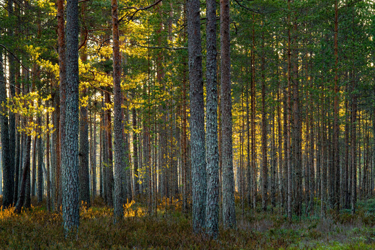Sun Shining Through Pine TREES IN FOREST