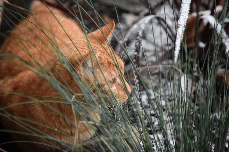 Ginger Cat Outdoors In Winter