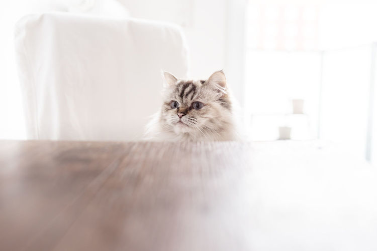 Portrait of cat behind kitchen table