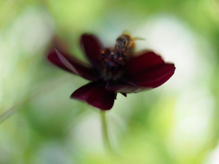 Honneybee Bee Honungsbi Flower Voigtländer Nokton 25mm F0.95 Olympus OM-D E-M5 Mk.II Nature Nature_collection