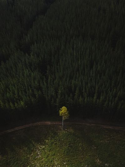 A lone tree sits at the base of an enormous pine plantation. DJI Mavic Pro Drone  EyeEm Ready   Aerial Aerial View Beauty In Nature Day Dji Drone Photography Forest Grass Growth Landscape Mavic Pro Minimalism Nature No People Non-urban Scene Outdoors Plant Scenics Tranquil Scene Tranquility Tree Week On Eyeem Fresh On Market 2018 Shades Of Winter Go Higher