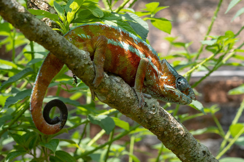 Animal Themes Animal Wildlife Animal One Animal Plant Nature Vertebrate Tree Focus On Foreground No People Reptile Branch Close-up Plant Part Leaf Day Green Color Outdoors Lizard Chameleon Panther Chameleon Reptile Beast Africa Madagascar