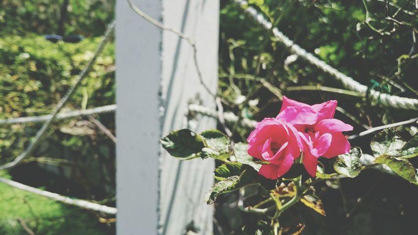是誰的心啊…孤單的留下……她還好嗎?我多想愛她… 拿永恆的淚凝固的一句話…也許可能蒸發……《 F.I.R. — 月牙灣 》 Taking Photos Hanging Out Relaxing Enjoying Life Missing You Love ♥ Lovelovelove Flowerporn Flower Collection Rose🌹