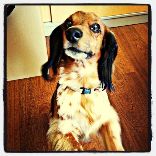 Office is boring. I wanna play :-) Dog Dachshund Doxie PaulPaulinger