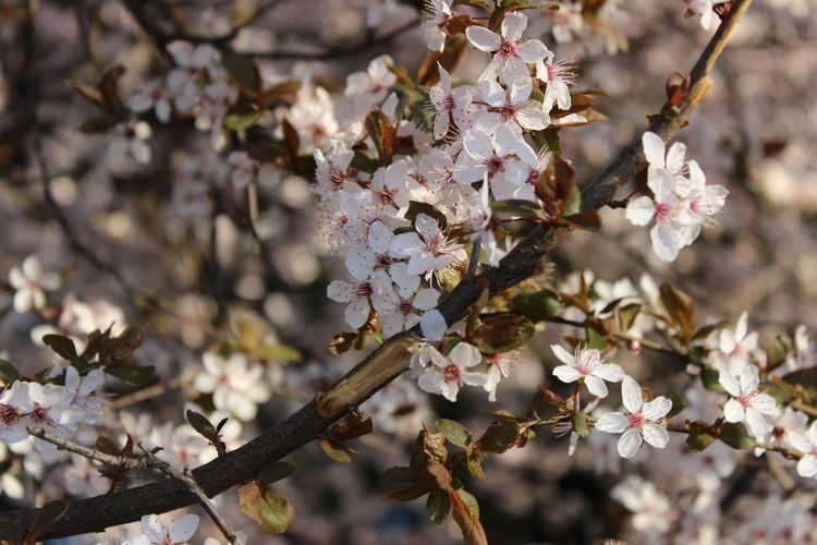 EyeEmNewHere Pink Cherry Blossom Blossom BanskaBystrica Spring Tree