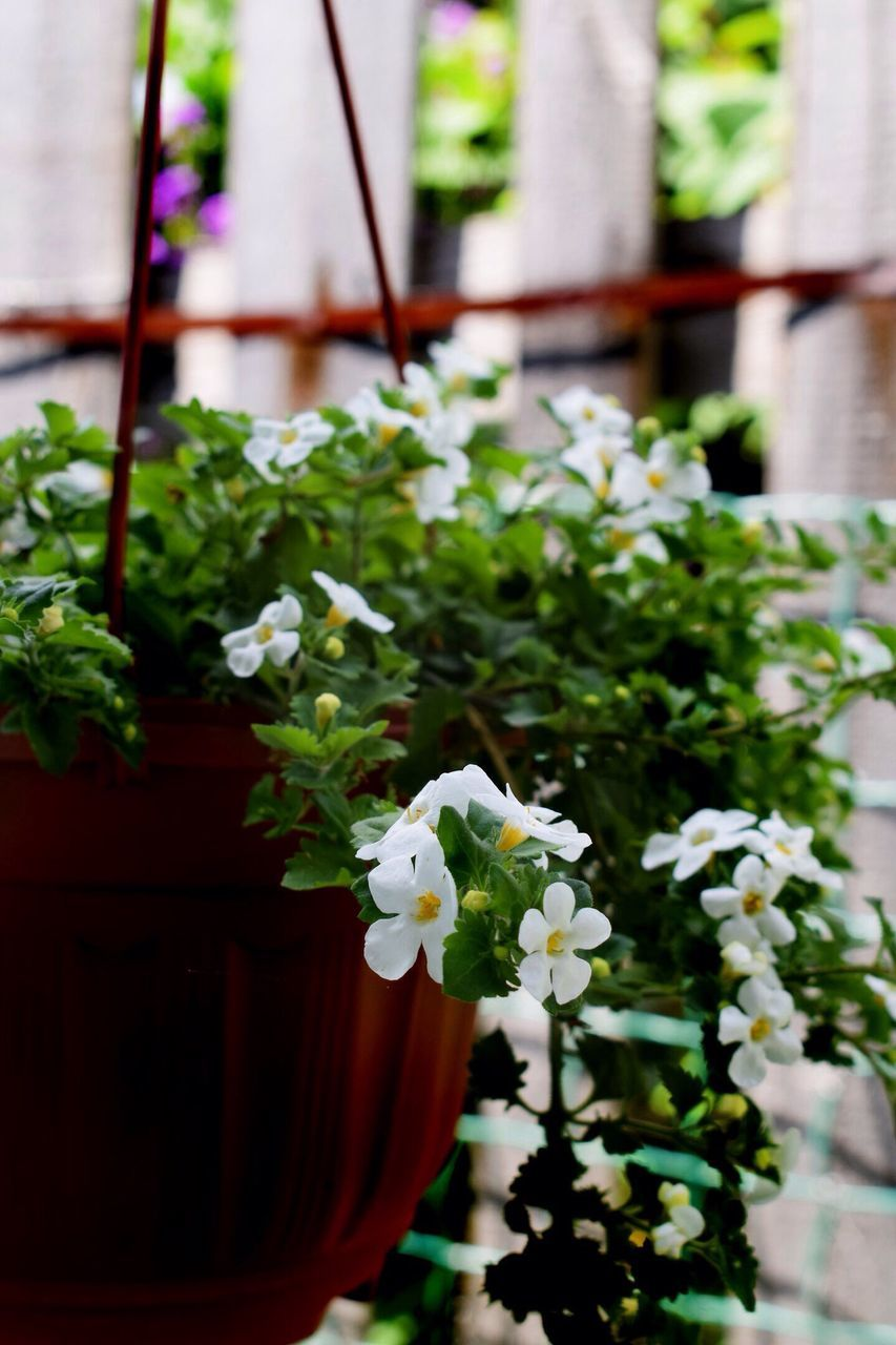 flowering plant, flower, plant, freshness, beauty in nature, fragility, vulnerability, petal, nature, close-up, day, focus on foreground, growth, white color, no people, flower head, inflorescence, potted plant, outdoors, flower pot
