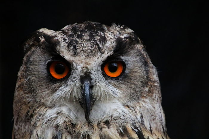 Black Background Feathers Nature Animal Head  Animal Themes Animal Wildlife Beak Bird Bird Of Prey Close Up Close-up Contrast Eyes Fauna Focus Looking At Camera No People Nocturna Orange Color Orange Eyes Owl Portrait Stare Staring Wildlife