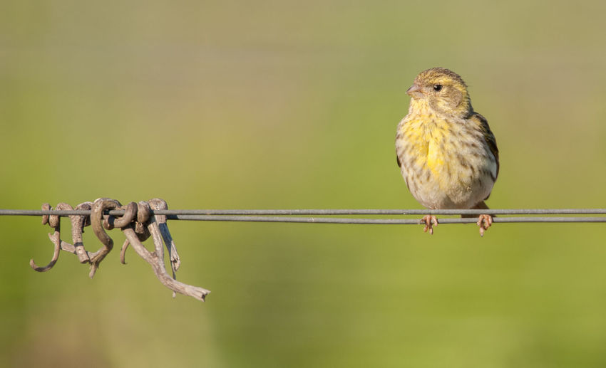 common greenfinch on wire Animal Animal Themes Animal Wildlife Animals In The Wild Bird Chloris Chloris Close-up Common Greenfinch Copy Space Day Focus On Foreground Full Length Looking Away Metal Nature No People One Animal Outdoors Perching Plant Sparrow Vertebrate