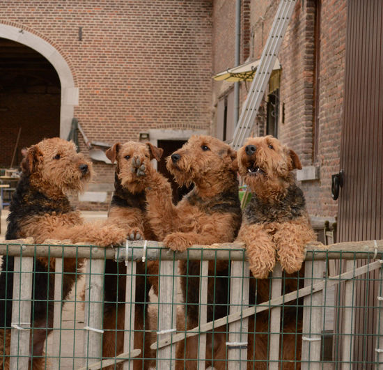 4 Airedales 4