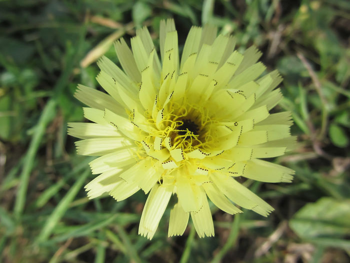 Meadow salsify flower also known as showy goat's beard or Jack go to bed at noon Beard Bed Blonde Burgeon Field Flora Flower Goat HEAD Inflorescence Jack Meadow Noon Petal Pollen Salsify Seasonal Showy Single Flower Spring Flowers Stamen Stem Tragopon Pratensis Wildflowers Yellow