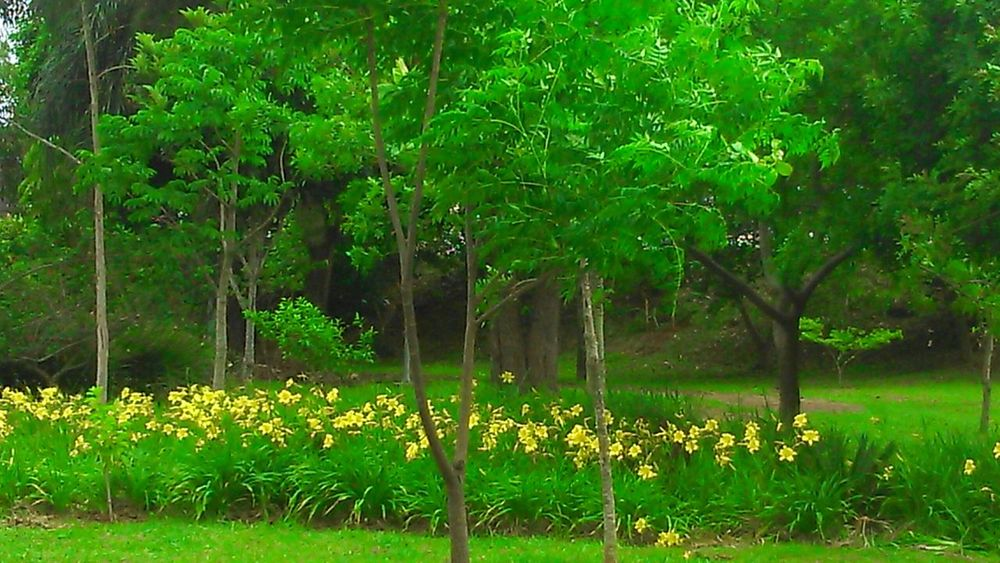 Taking Photos Naturelovers 🌷 Flowers 🌹 Yellow Flower Tree Greens Nature_collection EyeEm Nature Lover NoEditNoFilter
