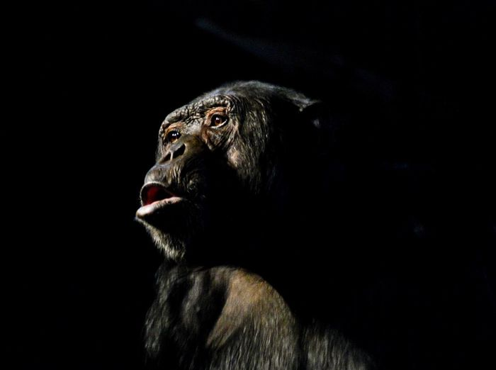 Close-up of chimpanzee over black background