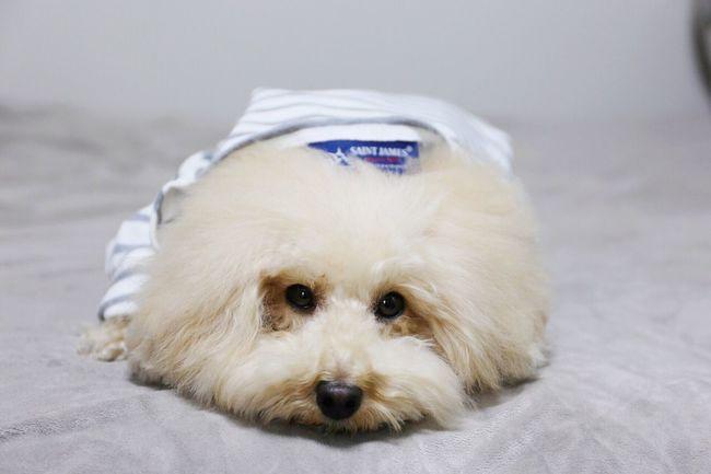 DogLove My Toypoodle SAINTJAMES I Love My Dog Poodle Love Cute Pets Cutedogs Toypoodle Dogs Dog