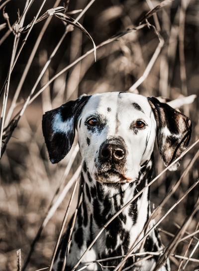Dalmatian Dog Portrait in the field Dalmatian Dalmatian Dog Animal Animal Body Part Animal Themes Dog Dog Portrait Domestic Animals Field Focus On Foreground Looking At Camera No People One Animal Pets Plant Portrait Purebred Dog