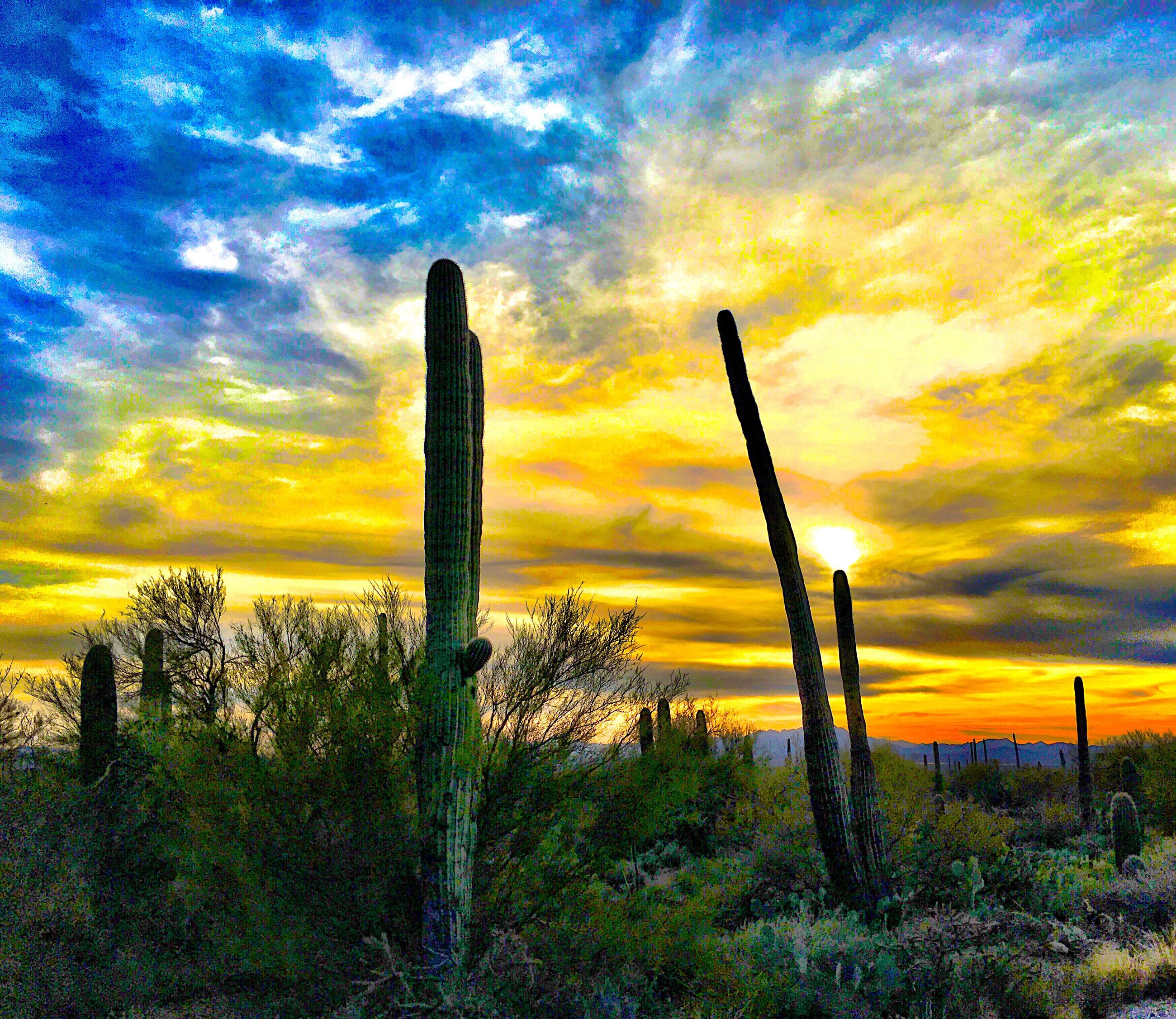 cactus, saguaro cactus, growth, nature, beauty in nature, dramatic sky, sunset, cloud - sky, tranquility, scenics, plant, sky, tranquil scene, uncultivated, outdoors, no people, landscape, desert, low angle view, wilderness area, day