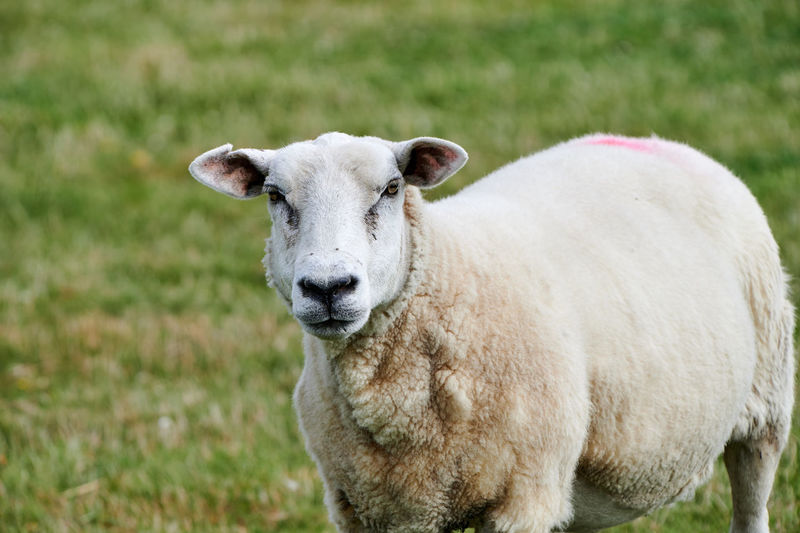 Portrait of sheep standing on field and looking directly in the lens of the camera