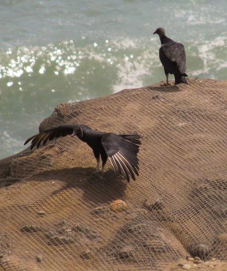 Animal Themes Beach Bird Black Nature Turkey Vulture Vultures Vultures Observing