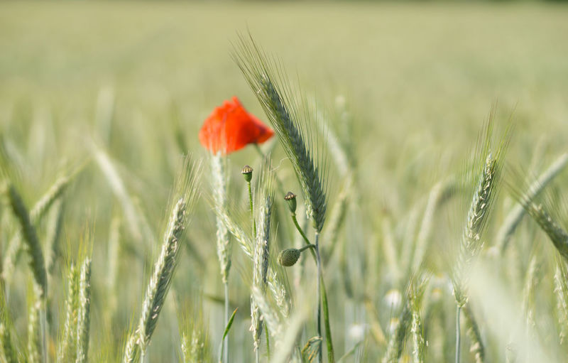 Close-up of poppy growing on field