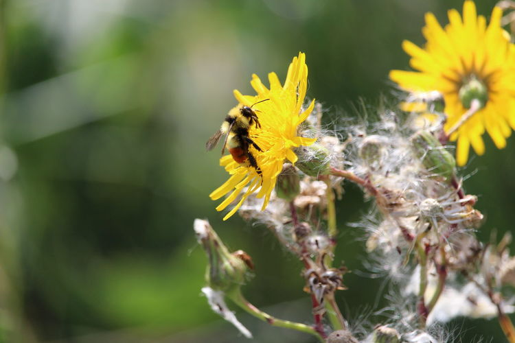 Close-up of honey bee pollinating on yellow dandelion during sunny day
