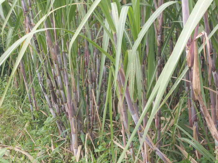 Black Sugar Cane Black Sugarcane Blade Of Grass Field Grass Grassy Green Green Color Growth Leafs Leaves Nature Nature Nature_collection Outdoor Outdoors Plant Plants Rural Scene Sugar Cane Sugar Cane Field Sugarcane