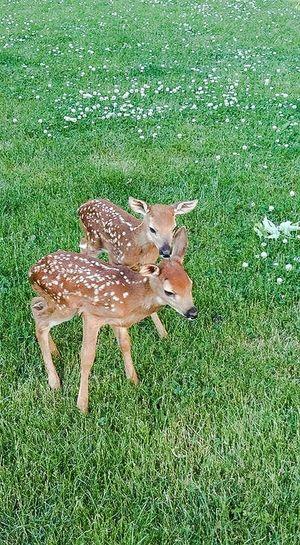 Deer Young