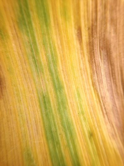 Diagonal Design Lines Parallel Corn Texture Natural Backgrounds Full Frame Yellow Pattern No People Abstract Green Color Textured  Close-up Abstract Backgrounds Beauty In Nature Nature Motion Blurred Motion Multi Colored Art And Craft Creativity