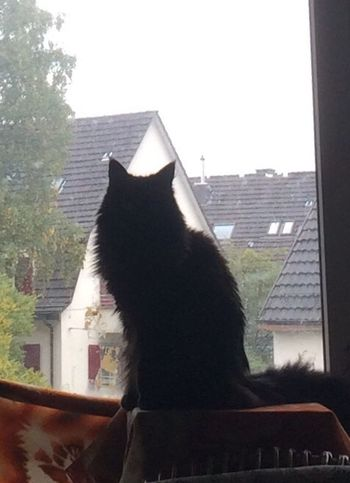 One Animal Domestic Cat Window Looking Through Window