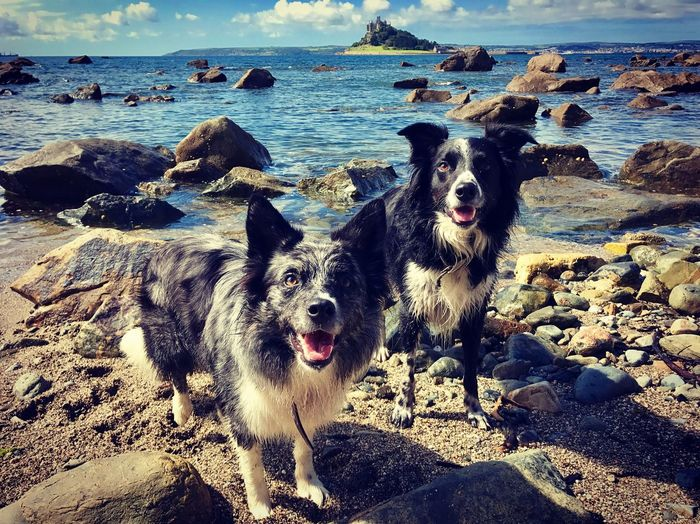 Dog Waterdog Cornwall Border Collie Seaside Action Beachdog Holiday Visit Cornwall Ocean Beachlife West Country Blue Merle On Point  Blue Heeler Landscape St Michaels Mount EyeEmNewHere Be. Ready.