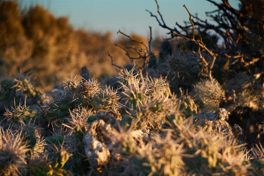 desert life Beauty In Nature Botany Cactus Day Desert Desert Beauty Desert Plants Dried Plant Growth Life In Desert Nature Nature_collection Plant Scenics en Isla Natividad, Mexico