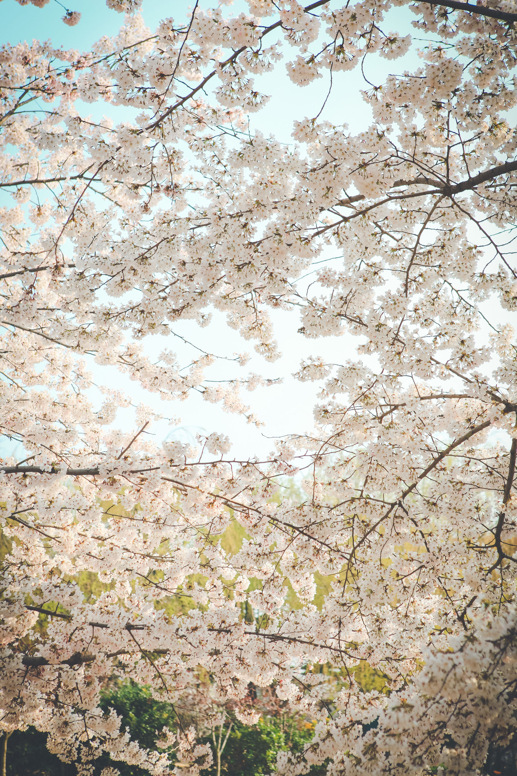 flower, tree, branch, growth, freshness, beauty in nature, nature, fragility, blossom, cherry blossom, springtime, white color, cherry tree, in bloom, day, blooming, low angle view, season, tranquility, petal