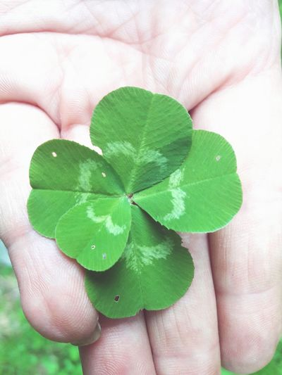 Human Body Part Human Hand One Person Human Finger Green Color Holding Leaf People Real People Close-up Plant Adult Lifestyles One Woman Only Adults Only Indoors  Day Close Up Five Leaf Clover Luck Clover Good Luck Charms Good Luck Good Luck Symbol Lucky Charms