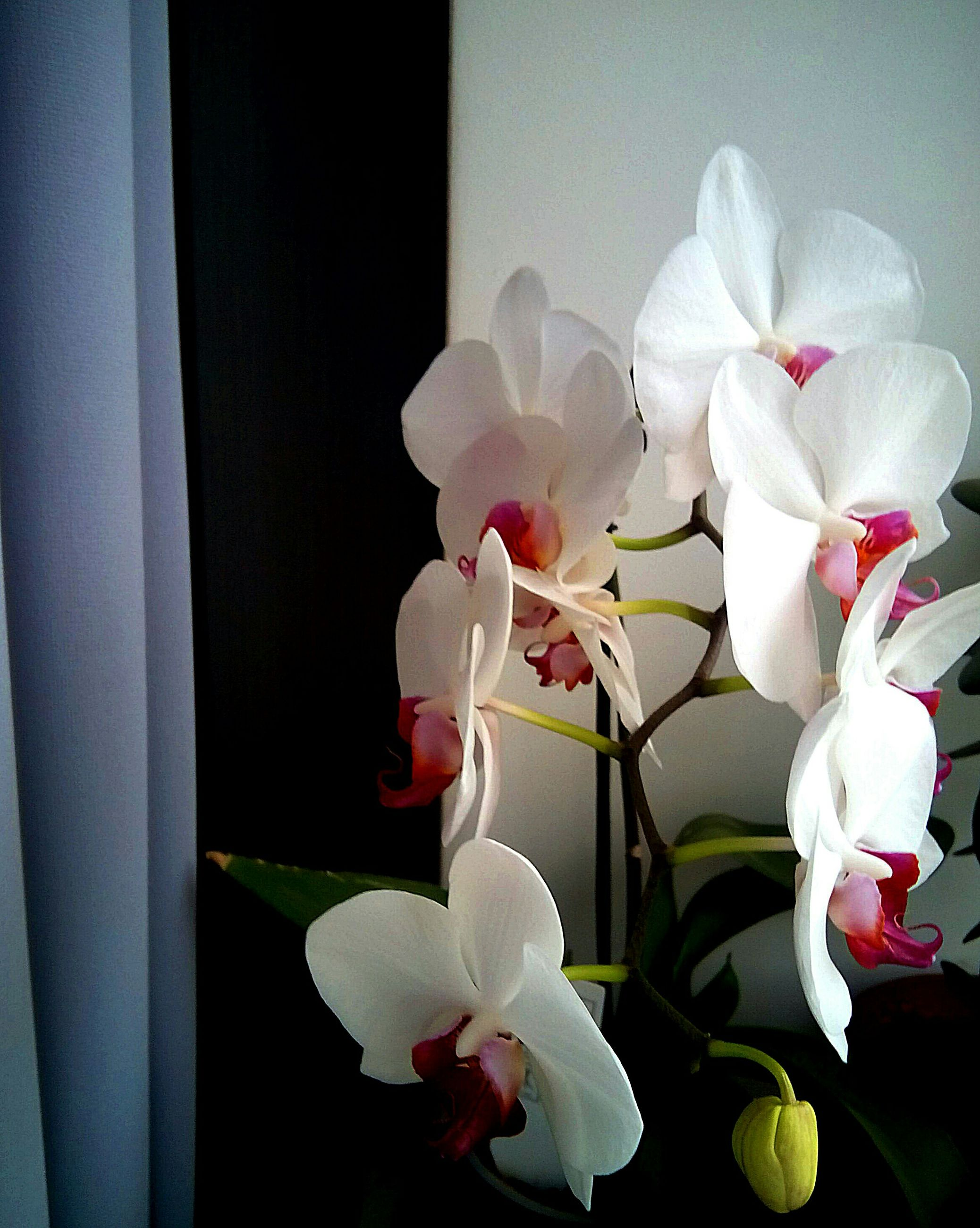 flower, petal, fragility, indoors, freshness, flower head, white color, growth, window, beauty in nature, vase, orchid, nature, plant, close-up, leaf, stem, blooming, home interior, focus on foreground