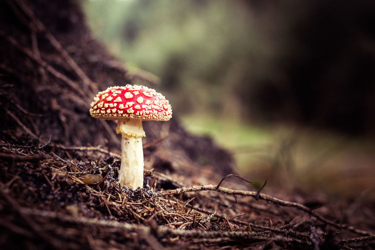 Beauty In Nature Close-up Day Fly Agaric Fly Agaric Mushroom Forest Fragility Freshness Fungus Growth Mushroom Nature No People Outdoors Red Toadstool