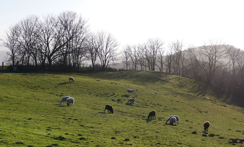 Flock of sheep grazing in field