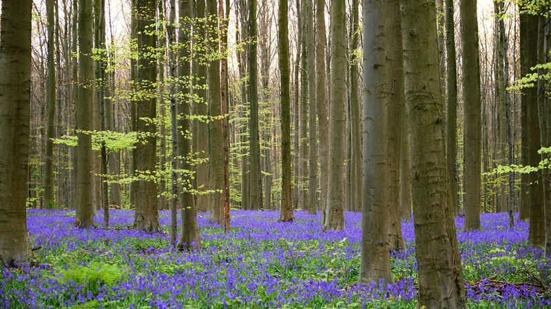 The season for bluebells - Bois de Hal - Beauty In Nature Bluebell Day Flower Forest Green Color Growth Hallerbos Landscape Nature No People Outdoors Plant Scenics Sprintime Tranquil Scene Tranquility Tree Tree Trunk Wood