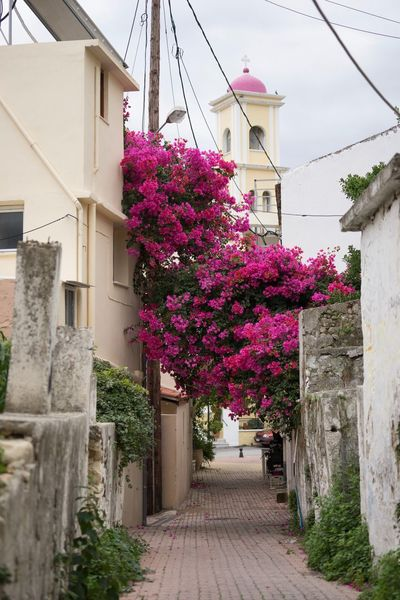 Bougainvillea Greek Orthodox Church Bougainvillea Flower Pink Color Built Structure Blossom Building Exterior Outdoors No People Architecture Day Nature Fragility Beauty In Nature Freshness