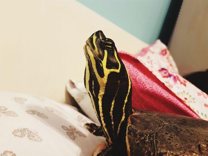 Intriguing Animal Life Indoors Lookingup Terrapin Close Up EyeEm Selects EyeEmNewHere Reptile Pets Close-up Exotic Pets