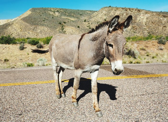 Donkey One Animal Animal Themes Domestic Animals Side View Donkeylove Donkeys Donkey Time On The Road Walking On The Street Highway Equine Gunlock State Park Utah