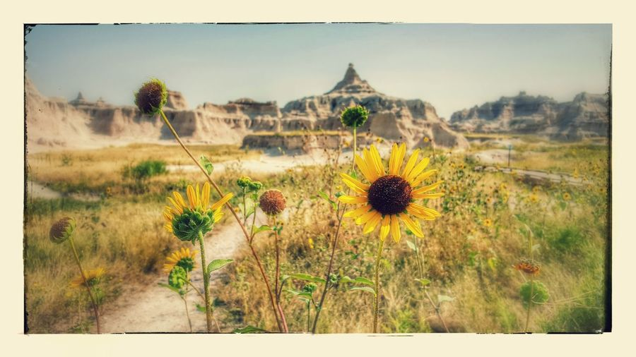 The Badlands Nature Tranquility Landscape Beauty In Nature Outdoors Travel Destinations Plant Flower Day Desert No People Scenics Arid Climate Sky