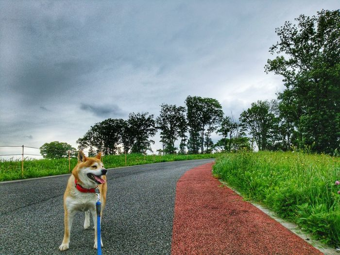 partner❇sibainu🌠Lan EyeEm Gallery EyeEm Selects Pets Dog Tree Sky Grass Cloud - Sky Pet Collar Pet Leash
