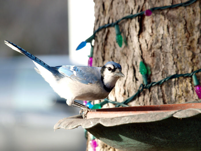 Blue Jay number two Animal Vertebrate Animal Themes Animal Wildlife Bird Animals In The Wild Perching Tree No People Branch Outdoors Blue Jay Bird Blue Jay Eating Avairy Bird Lovers