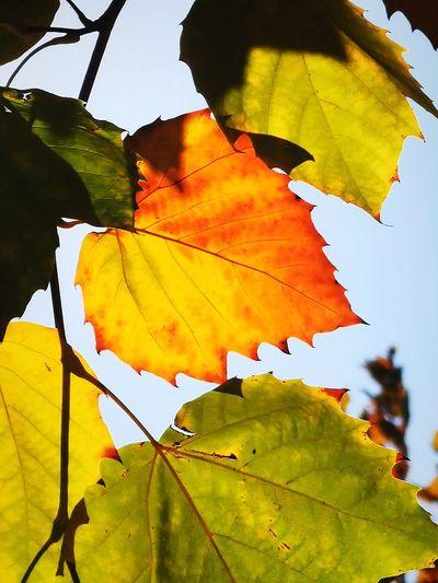 leaf Maple Tree