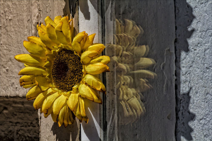 sunflower and wall Flower And Wall Flower Still Life Sunflower