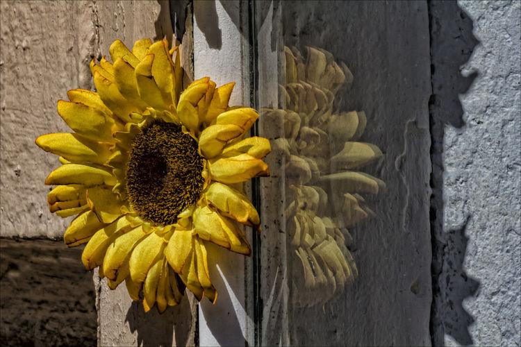 sunflower and wall Flower And Wall Flower Still Life Sunflower