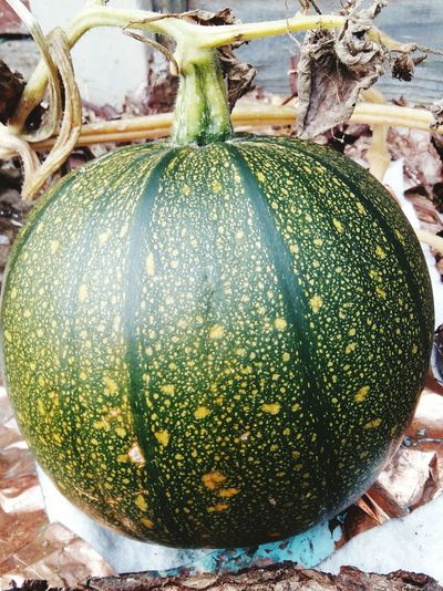 A Close-up of a Pumpkin Growing in its Pumpkin Patch on its Pumpkin Plant . Still Stunning Green in Colour with a hint of Orange . Featuring No People Day Outdoors Food Nature Homegrown Garden Healthy Halloween Wood Vegetable Organic Healthy Lifestyle Healthy Food Healthy Living .