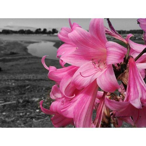 Flowers at Berkeleymarina . Nature Bay Delta Pink California Richmond Sanfrancisco Blackandwhite Bw
