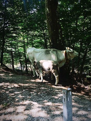 Cow Nature MTB Acerno Cleanair Mountains Mountainbike Enjoying Life Taking Photos
