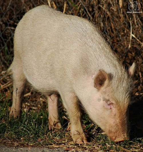 Cerdo Pig Cerdos Pig Minipigs Minipig Albinism Porc Albine Albi Animal Photography Photooftheday Outdoor Photography Naturelovers Natgeo Safari Forest Adventure Hiking Nature_collection Landscape_collection EyeEmNatureLover Biology Catalunya Martorell Nikon D60 Naturaleza🌵🌻🎶 Naturaleza🌾🌿 Nikonphotographers Naturephotography Naturaleza_spain Nature Photography Nature Animal Photography Animals In The Wild Animal Wildlife