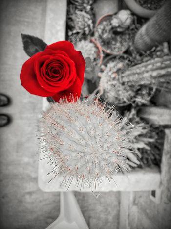 Convivenza Cactus Rose - Flower Eyeemphoto Eyeemforphotography